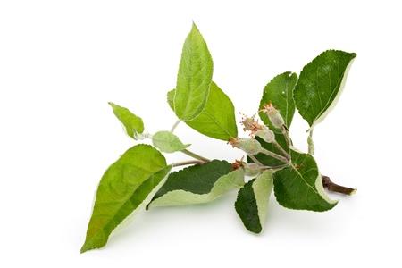 medicinal herbs isolated on white Фото со стока