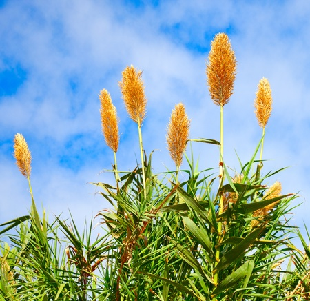 Sugar cane plant with flowers, Saccharum Stock Photo - 9615630