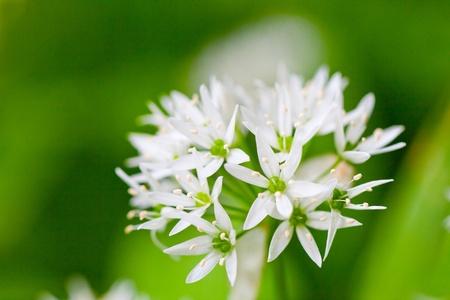 alliaceae: Ramsons (Allium ursinum) (also known as buckrams, wild garlic, broad-leaved garlic, wood garlic or bears garlic) is a wild relative of chives