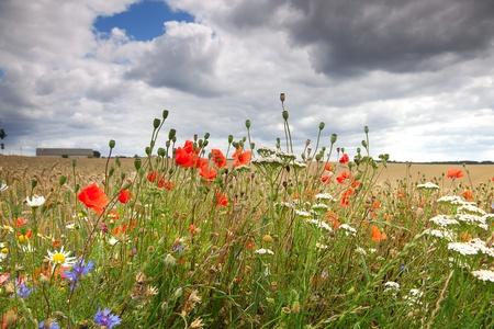 corn flower: Cornflower and poppy in wheaten  field Stock Photo