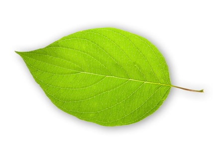 Green leaf isolated on white background Stock Photo - 10069755