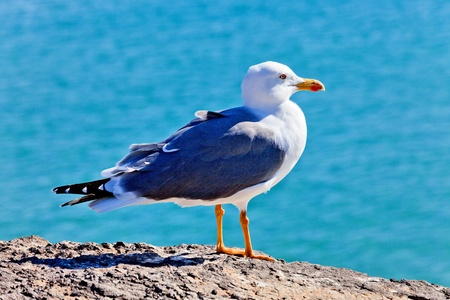 sea gull: Gull on stone and blue sea on background