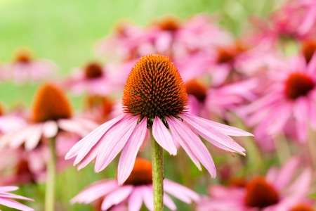cone flower in city park