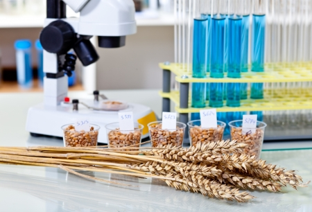 Corn subject to  selection in Microbiological laboratory photo