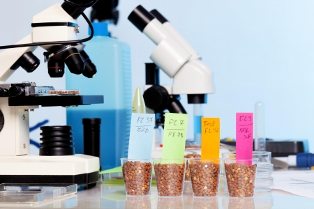testing: Testing of GMO wheat varieties, check on food safety Stock Photo