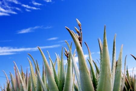 agave: Aloe vera planta en la granja, la industria cosmética