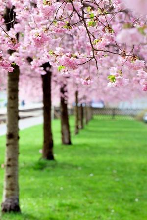 cerezos en flor: Sakura árbol de flor rosa, verde, hierba