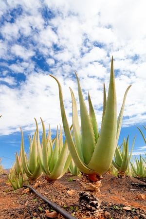 aloe vera: Aloe vera plant in the farm, cosmetic industry Stock Photo