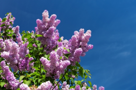 syringa: Lilac bush blooming in the sky