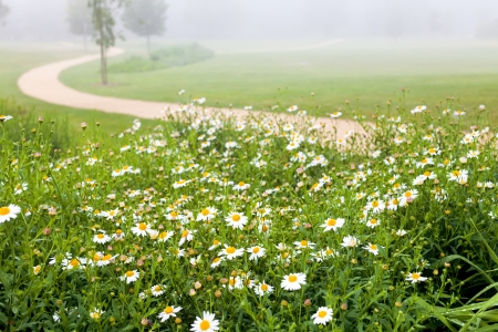 flower garden path: Daisies in a summer park in the morning