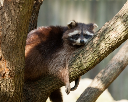 procyon: Adult raccoon  procyon lotor  resting on a tree brunch