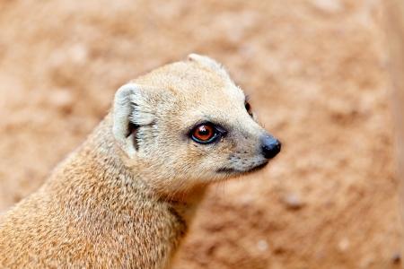 vigilance: Portrait of a meerkat who watches