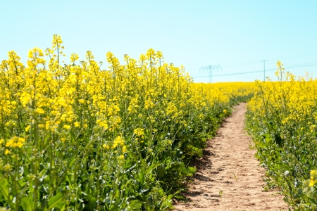 Path in the rapeseed field photo