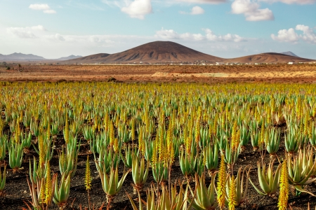 Plantation of medicinal aloe vera plant in the Canary Islands photo