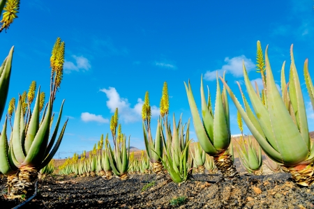 Plantation of medicinal aloe vera plant in the Canary Islands Stock Photo