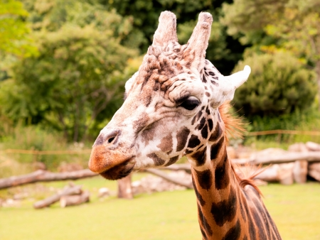 snoot: Portrait of a giraffe on the farm Stock Photo