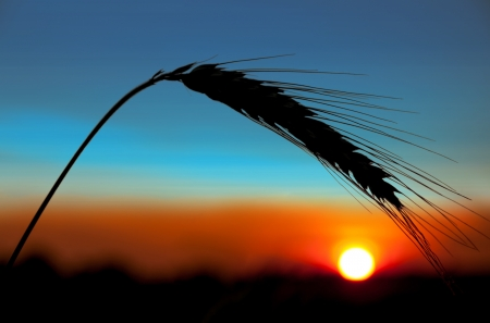 Ear of wheat on a background the sunset sun photo