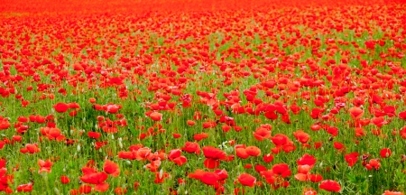 poppies on summer field photo