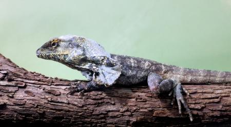 frilled: Lizard on a wood.  Chlamydosaurus kingii.