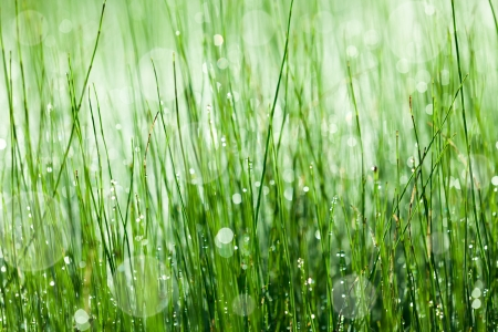 horsetail: Horsetail plant with morning dew Stock Photo