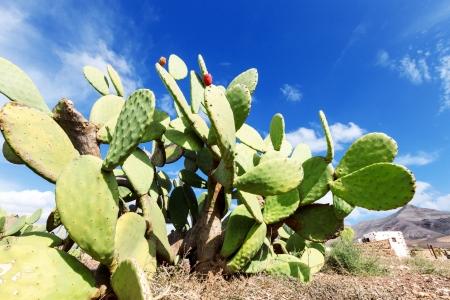 feuille de figuier: Prickly pear cactus dans un champ