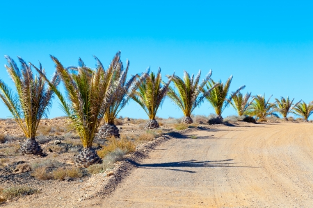 palm trees in the desert photo