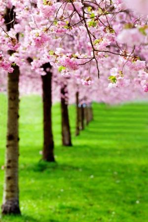 flowering cherry, sakura trees