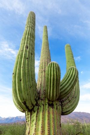 saguaro cactus: cactus in the Arizona desert against the sky