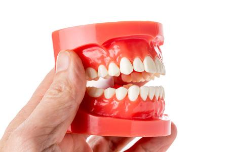 dental jaw model in hand photo
