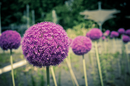 Decorative onion flowers, allium photo