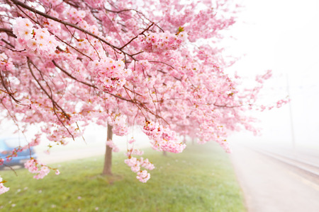 flowering cherry, sakura trees spring flower concept photo