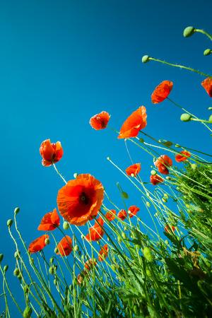 poppy flowers against the sky photo