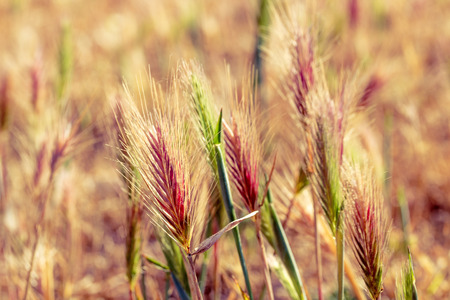 spikelets: spikelets of wild wheat