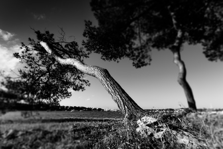 old pine trees, black and white photo photo