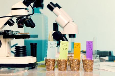 food safety: Testing of GMO wheat varieties, check on food safety Stock Photo