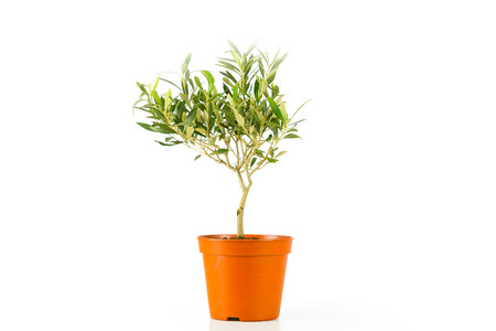 olive tree in a pot photo