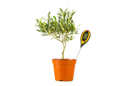olive tree in a pot with a moisture meter photo