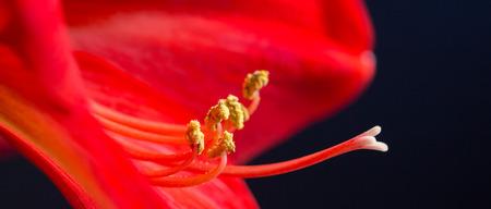 pistils: amaryllis pistils and stamens