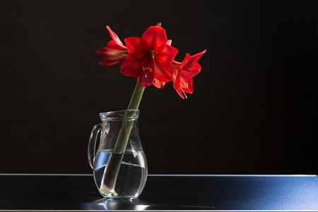 amaryllis flower in a jar photo