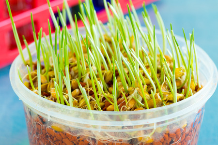 scientific farming: sprout of genetically modified wheat