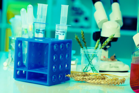 genetically modified crops: Research of GMO wheat in the laboratory