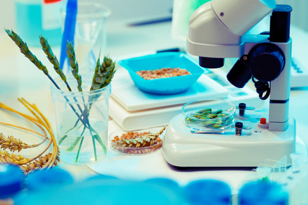 medicine and science: Research of GMO wheat in the laboratory