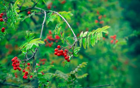 Berries of red rowan Stock Photo