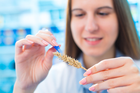 food testing: Research wheat crops in the laboratory Stock Photo