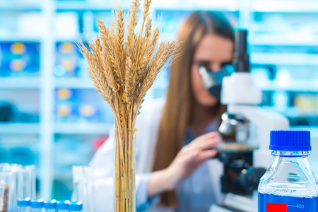 Research wheat crops in the laboratory Stock Photo