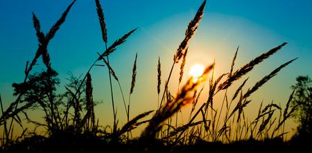 spikelets: Spikelets grass on sunset Stock Photo