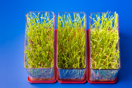 scientific farming: Genetically modified plants in a scientific laboratory Stock Photo