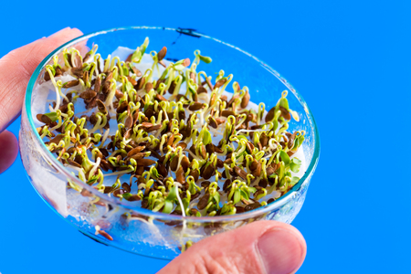sprouted: The sprouted seeds in the genetic laboratory Stock Photo