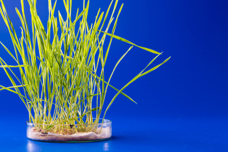 scientific farming: Genetically modified plants in a scientific laboratory Stock Photo