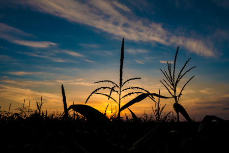 iowa agriculture: Silhouette of corn at sunset